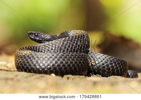 black nikolskii adder in natural habitat ( Vipera berus nikolskii melanistic form )