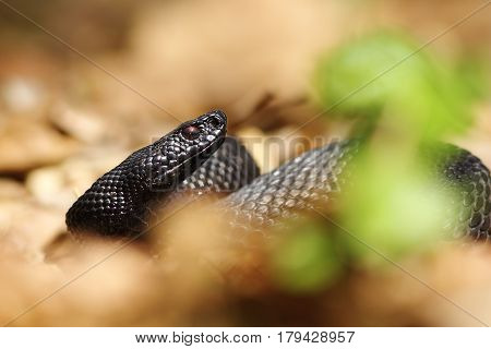portrait of melanistic viper hiding on forest ground amongst faded leaves ( Vipera berus nikolskii )