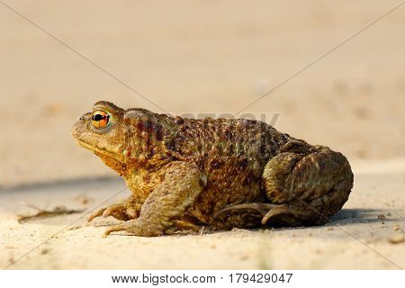 profile view of brown common toad ( Bufo female )