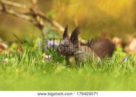red european squirrel on green grass ( Sciurus vulgaris )