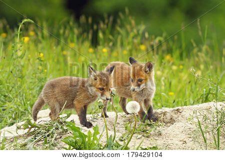 european red fox siblings playing near the den ( Vulpes )