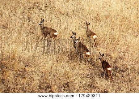 roe deers in faded grass late autumn image ( Capreolus )