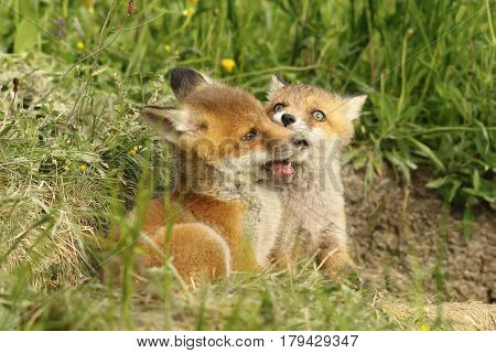two european red fox cubs playing near the den ( Vulpes young wild animals )