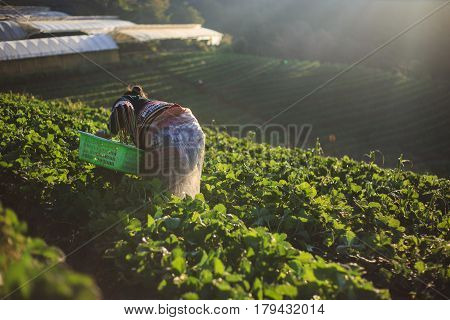 Farmer Pick Strawberry In The Morning At Strawberry Field