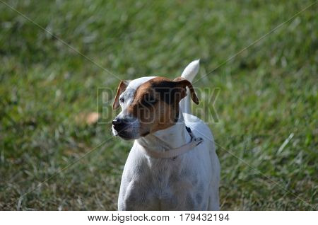 Cute face of a parson russel terrier dog.