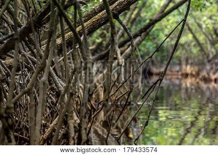 Close Up Tangle Of Mangrove Tree Roots And Branches Growing In To A Calm Mangrove River.
