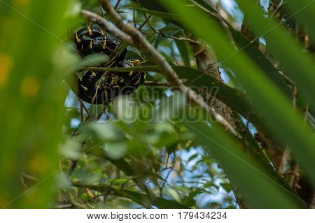 Boiga dendrophila mangrove snake or gold-ringed cat snake curled up high up in a mangrove tree. Malaysia Asia.