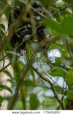 Boiga Dendrophila,  Mangrove Snake Or Gold-ringed Cat Snake Curled Up High Up In A Mangrove Tree. Ma