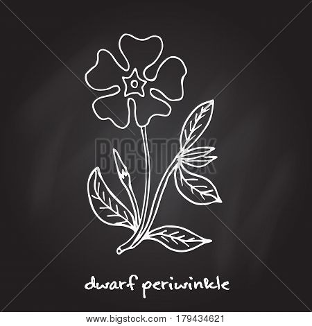 Dwarf periwinkle, or Vinca minor. Hand drawn botanical vector illustration