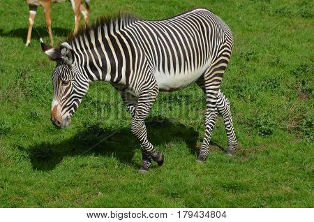 Amazing zebra wandering on a prairie with green grass.