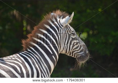 Amazing look at a zebra with whiskers on his chin.