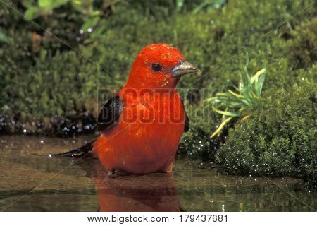 A male Scarlet Tanager, Piranga olivacea bathing in a shallow pond