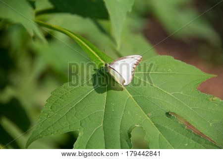 soft focus white batterfly color sit on flower. Colorful white batterfly with green leaf.