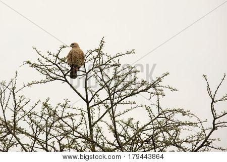 Black Kite In Tree, Uganda