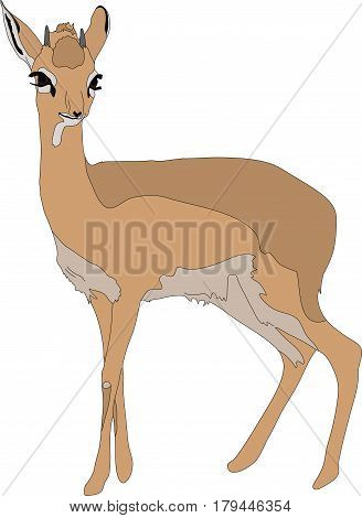 Portrait of a  damara dik dik, standing, hand drawn vector illustration isolated on white background