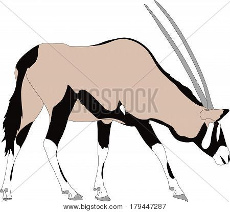 Portrait of a gemsbok or oryx gazella antelope, running, hand drawn vector illustration isolated on white background