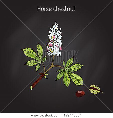 Horse chestnut or Conker tree Aesculus Hippocastanum . Vector illustration
