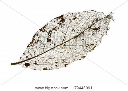 Isolated skeleton of a leaf with fine veins.