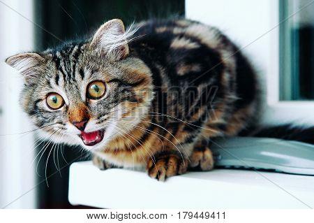 Growling Cat