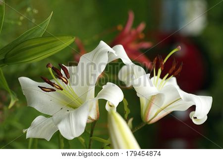 Closeup orange white Lily flowers in a garden Macro shot Pistil and stamen and bud