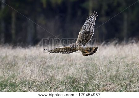 Hen harrier (Circus cyaneus) looking for food in its natural habitat
