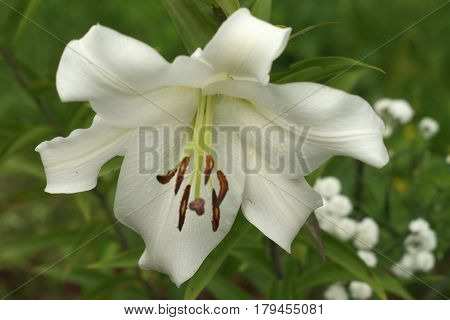 Closeup White Lily Flowers In A Garden