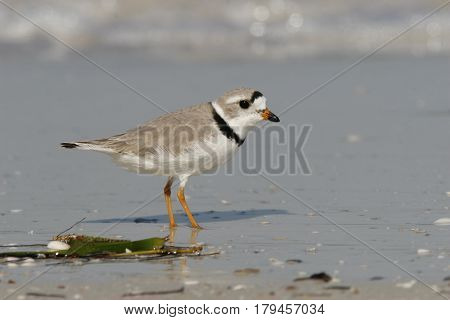 An endangered Piping Plover, Charadrius melodus  in breeding plumage on wet sand on a beach in Florida