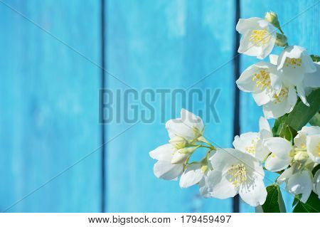 Spring background with blooming jasmine against background of blue boards
