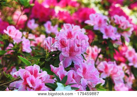 Azalea flowers,many beautiful pink with red flowers blooming in the garden in spring