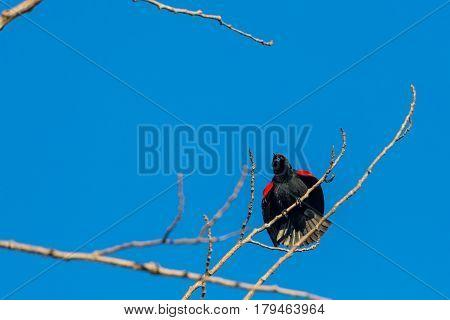Red-winged blackbird (Agelaius phoeniceus) singing in a blue sky.