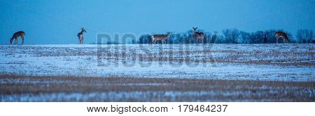 Herd of White-tailed deer (odocoileus virginianus) feeding in a field in late winter.