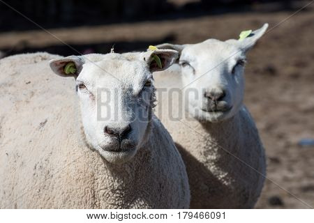 Two curious sheep at a Dutch farm