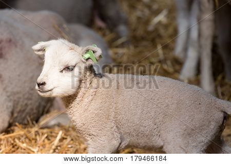 Cute little lamb in a Dutch sheepfold