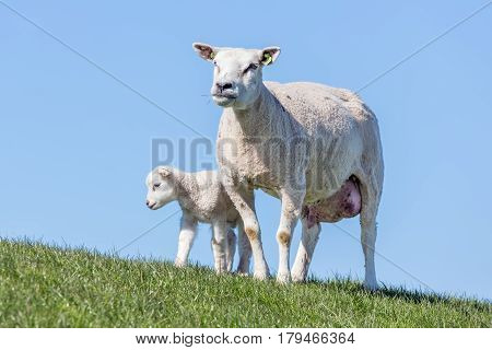 Sheep and little lamb in Dutch field on a sunny day