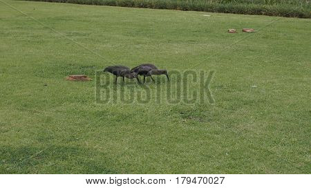 A pair of ibis walking on the green grass