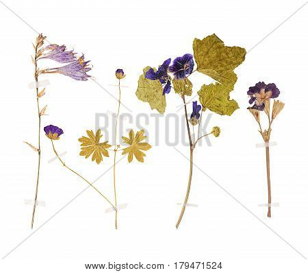 Set of wild dry pressed flowers and leaves isolated