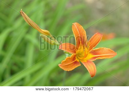 Bloom orange lily and a green leaves