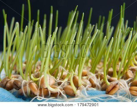 Germinating a lot of wheat seeds with green sprouts