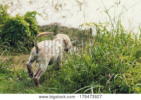 The rear view of a cute labrador retriever puppy exploring the world as he runs through the long grass with water dripping off him.