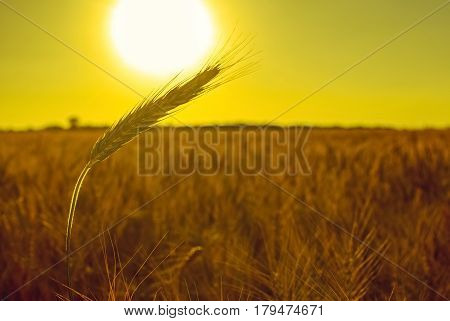 The mature dry ear of golden wheat in the drops after rain in a field at sunset. Harvest.