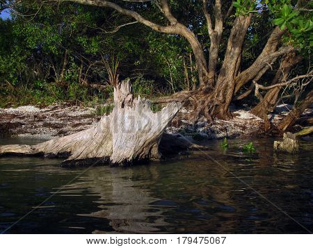 Tree stump in the shallow waters of the Indian River near Titusville, Florida