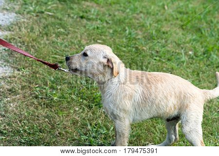 A stubborn Labrador Retriever puppy pulls backwards on leash.