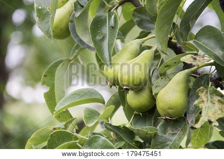 In the summer afternoon on a branch hanging of four green pears.