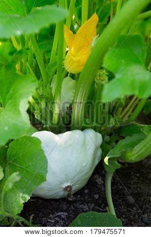 Pattypan squash plant. Pattypan squash flower. Green vegetable marrow growing on bush Green vegetable marrow growing on bush