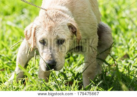 A white Labrador Retriever puppy squats in the grass while defecating.