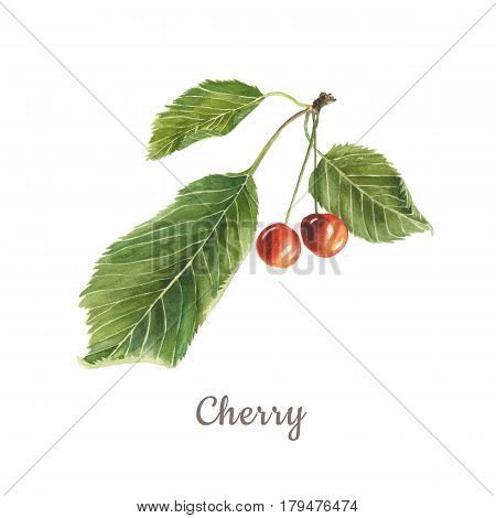 Botanical watercolor illustration of red cherry with green leaves isolated on white background with description. Could be used as decoration for web design cosmetics design package textile
