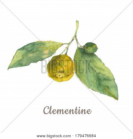 Botanical watercolor illustration of citrus with green leaves isolated on white background with description. Could be used as decoration for web design cosmetics design package textile
