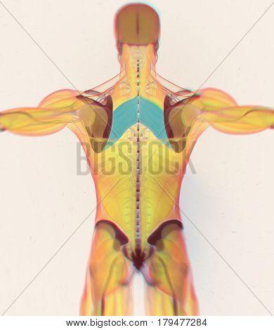 Anatomy muscle body. Rhomboid Major.Human body xray scan. 3D illustration.