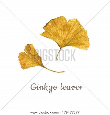 Botanical watercolor illustration of yellow ginkgo leaves isolated on white background with description. Could be used as decoration for web design cosmetics design package textile