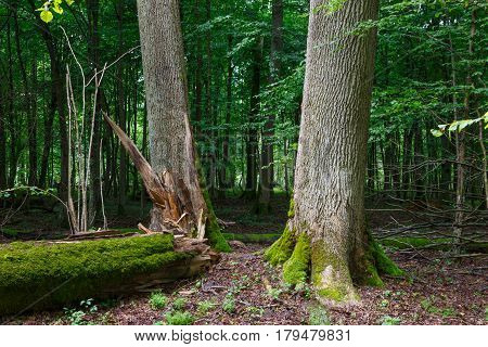 Deciduous stand of Bialowieza Forest in summer with broken trees in foreground partly declined, Bialowieza Forest, Podlasie, Poland, Europe